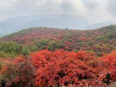 嵩山红叶进入最佳观赏季,诚邀您来一睹迷人盛景